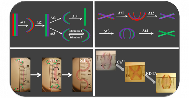 Les hydrogels 4D sont-ils la forme des choses à venir en génie tissulaire?